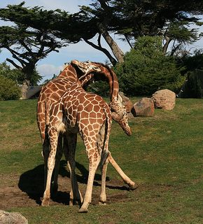 542px-Two male Giraffe are necking in San Franzisco Zoo.jpg