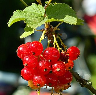 Red Currant.jpg