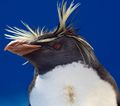 Rockhopper Penguin head.jpg