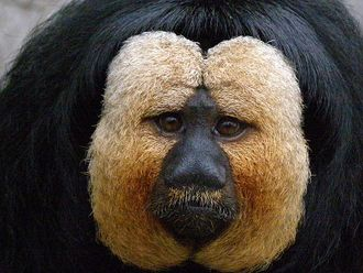 Saki monkey headshot.jpg